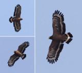 Crested serpent eagle (spilornis cheela), Harike Pattan, India, February 2012