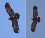 Steppe eagle (aquila nipalensis), Kathmandu, Nepal, March 2011