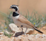 Temminck's horned lark, Temminck's lark (eremophila bilopha), Ksar Ghilane, Tunisia, April 2012