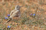 Greater hoopoe-lark (alaemon alaudipes), Tatouine, Tunisia, April 2012