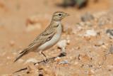 Greater short-toed lark