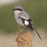 Desert grey shrike (lanius elegans algeriensis), Djerba, Tunisia, April 2012