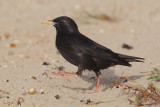 Spotless starling (sturnus unicolor), Djerba, Tunisia, April 2012