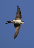 House martin (delichon urbicum), Echandens, Switzerland, July 2012
