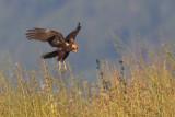 Marsh harrier (circus aeruginosus), Cuarnens, Switzerland, August 2012