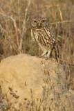 Little owl, Cuidad de Quesada, Spain, June 2007