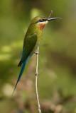 Blue-tailed bee-eater (merops philippinus) Àõºí·ä»¢