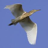 Herons, storks and pelicans