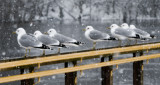 Seagulls in snow