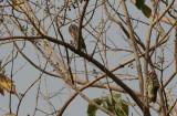 Pearl-spotted Owlet and Fine-spotted Woodpecker - Geparelde Dwerguil en Stippelspecht