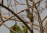 Fine-spotted Woodpecker - Stippelspecht