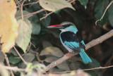Blue-breasted Kingfisher - Teugelijsvogel