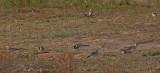 Red-billed Hornbill - Roodsnaveltok