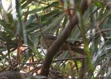 Yellow-throated Leaflove - Geelkraagbuulbuul