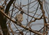 Black-billed Wood Dove - Zwartsnavelduif