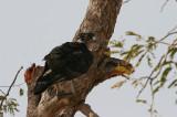 African Hawk-eagle - Afrikaanse Havikarend
