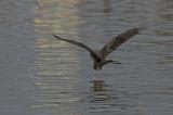 Yellow-billed Kite - Geelsnavelwouw