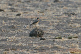 (Greenland?) Northern Wheatear - (Groenlandse?) Tapuit