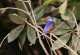 Malachite Kingfisher- Malachiet IJsvogel