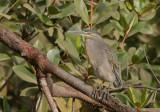 Striated Heron - Mangrovereiger