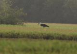 Woolly-necked Stork - Bisschopooievaar