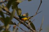 Pygmy Sunbird - Kleine Honingzuiger