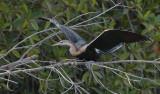 African Darter - Slangenhalsvogel