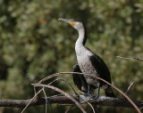 White-breasted Cormorant - Afrikaanse Aalscholver