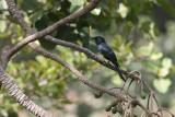 Fork-tailed Drongo - Fluweeldrongo