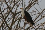 African Fish Eagle - Afrikaanse Zeearend