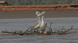 Pink-backed Pelican - Kleine Pelikaan
