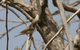 Western Bonelli's Warbler - Bergfluiter