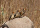 Yellow-billed Oxpecker - Geelsnavelossenpikker