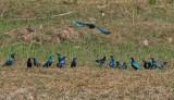 Greater Blue-eared Starlings (yellow eyes) and Lesser Blue-eared Starlings (orange eyes) - Groenstaartglansspreeuwen (gele ogen)