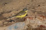 Yellow Wagtail - Gele Kwikstaart