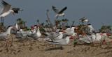 Caspian Terns - Reuzensterns