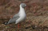 Grey-headed Gull - Grijskopmeeuw