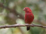 Red-billed Firefinch - Vuurvink