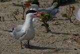Caspian Tern - Reuzenstern