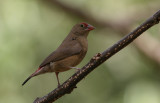 Red-billed Firefinch (female) - Vuurvink (vrouwtje)