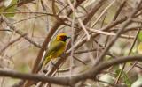 Black-necked Weaver - Zwartnekwever