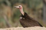 Hooded Vulture - Kapgier