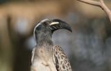 African Grey Hornbill - Grijze Tok