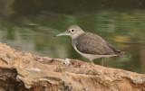 Common Sandpiper - Oeverloper