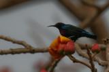 Splendid Sunbird - Roodbuikhoningzuiger