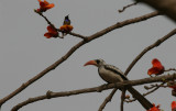 Splendid Sunbird (and a Red-billed Hornbill)- Roodbuikhoningzuiger (en een Roodsnaveltok)