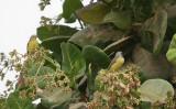 Yellow-fronted Canarys - Mozambiquesijsjes