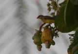 Yellow-fronted Canary - Mozambiquesijs