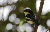 Brown-throated Wattle-eye - Bruinkeellelvliegenvanger