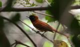 Red-bellied Paradise Flycatcher - Roodbuikparadijsmonarch